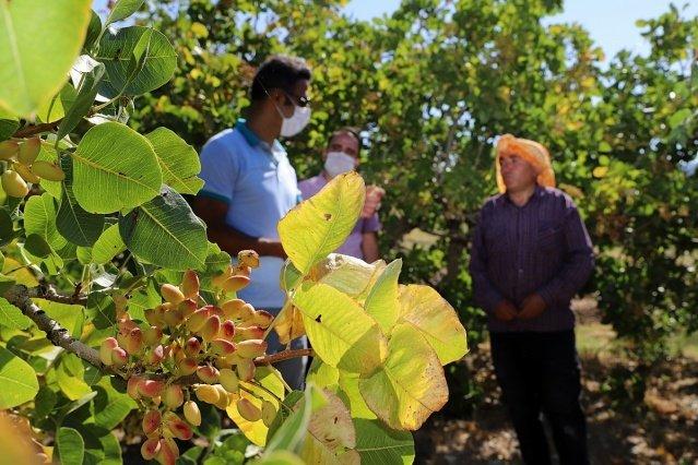 Manisa'nın Demirci ilçesinde Antep fıstığı hasadı devam ediyor.
