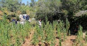8.234 kök kenevir bitkisi ve 56 kg kubar esrar maddesi ele geçirildi