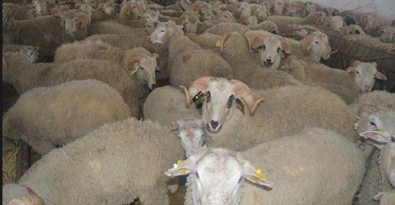 300 koyun projesi yanlış anlaşıldı