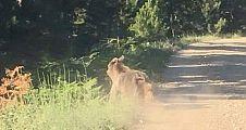 Demirci dağlarında ayılar geziyor