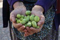 Zeytine prim zeytin dostlarını memnun etti