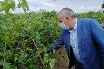 Çiftçi Milletvekili Dolu Vuran Bağları İnceledi