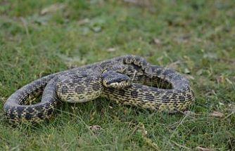 Yılanların sık görülmesi deprem habercisi mi?
