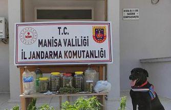 Jandarma Operasyonu! 60 kök kenevir bitkisi ele geçirildi, 1 kişi gözaltına alındı