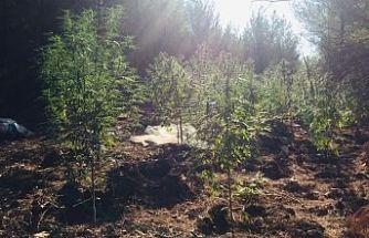 Demirci'de Uyuşturucu Operasyonu 500 kök kenevir bitkisi ele geçirildi, 2 kişi gözaltına alındı