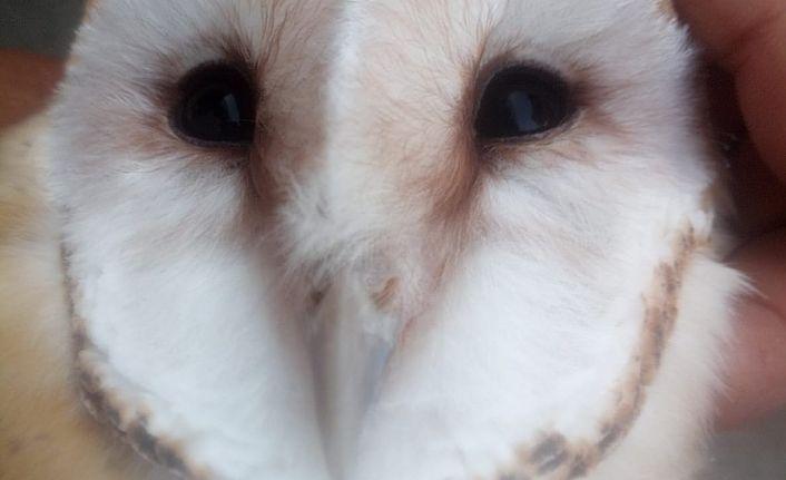 Peçeli Baykuş  Doğa Koruma Ve Milli Park Müdürlüğüne teslim edildi