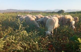 Armutun İyisini Ayılar Yerken, Domatesin İyisini de Koyunlar Yemeye Başladı